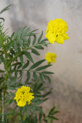 Fotografía  Marigold (scientific name: Tagetes erecta L