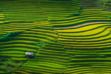 Landscape Rice Fields On Terra...