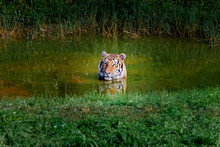 Amazing Tiger Taking A Bath