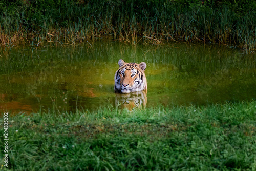 Amazing tiger taking a bath Tablou Canvas