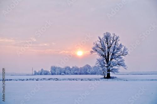 Fototapeta Winter landscape. Lonely tree in a snowy field at sunrise - image obraz