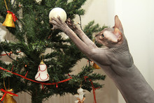 Sphinx Cat Gray Decorates A Christmas Tree For Christmas