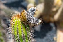 An Open Seedpod On A Cactus In Jardin De Cactus, Lanzarote, Spain