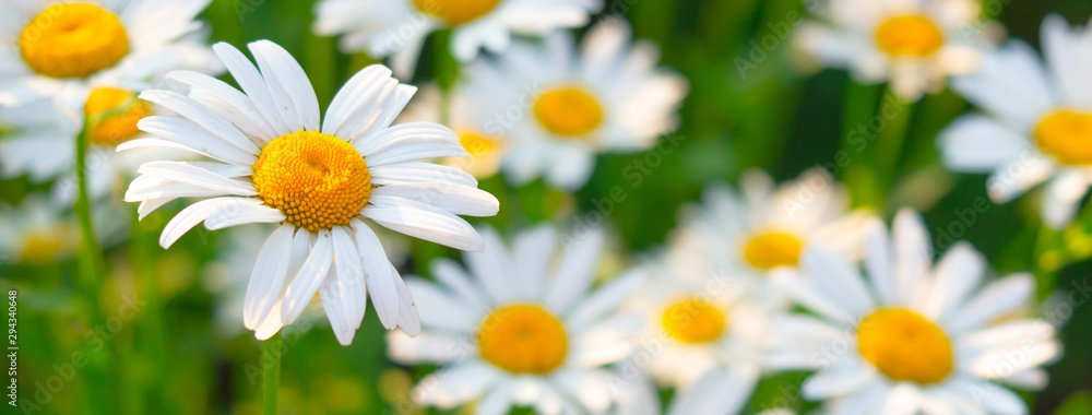 Fototapeta Beautiful white daisy flowers in sunny day