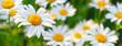 Leinwandbild Motiv Beautiful white daisy flowers in sunny day