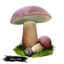 Boletus Badius, Imleria Badia Or Bay Bolete Mushroom Closeup Digital Art Illustration. Edible And Pored Fungus Has Velvety Dark Brown Cap. Mushrooming Season, Plant Growing In Wood And Forest
