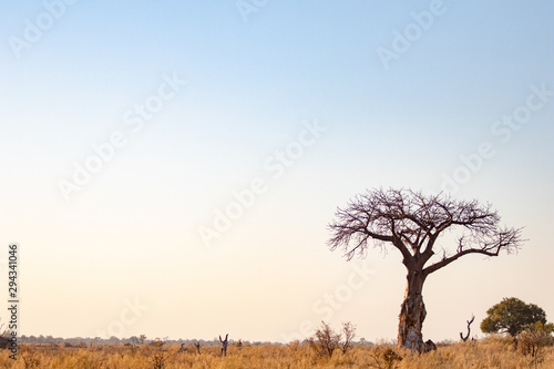 Fotografie, Obraz Baobab tree in an African savanna landscape at sunset