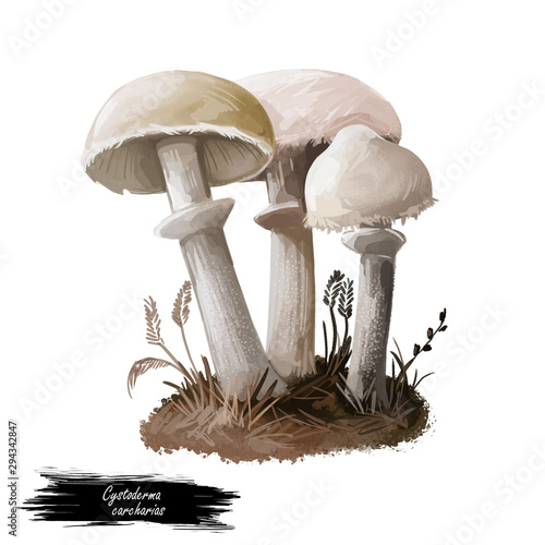 Fotografie, Obraz  Cystoderma carcharias mushroom closeup digital art illustration