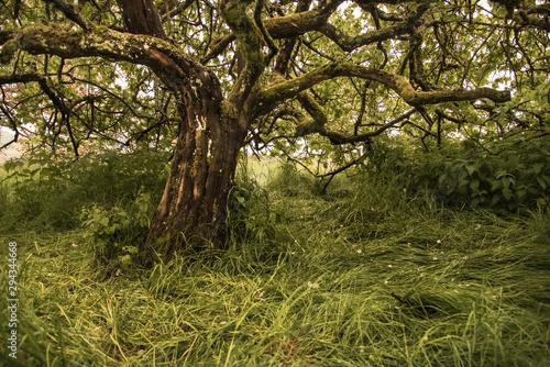 Fototapeta un vieil arbre noueux dans un pré d'herbe verte et grasse