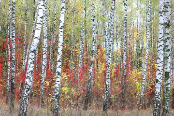 Fototapetabeautiful scene with birches in yellow autumn birch forest in october among other birches in birch grove