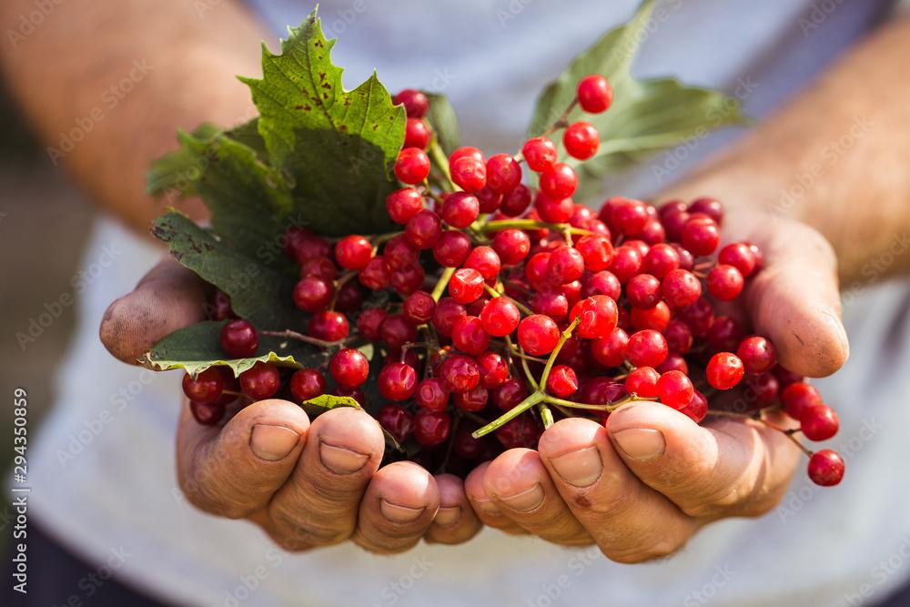 Fototapety, obrazy: Farmer holds viburnum berries