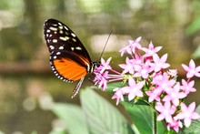 Butterfly On Flower, Photo As A Background ,taken In Arenal Volcano Lake Park In Costa Rica Central America