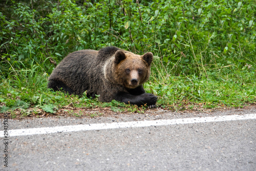 plakat Brown bear laying on the side of the road. Wild animal on road