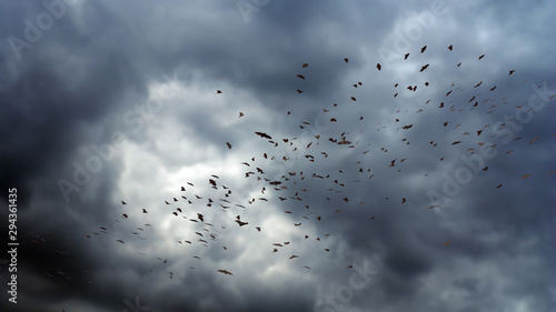 Canvas Print flock of bats in the air, mega bat swarm at dawn