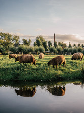 Sheep On The Pasture In Netherlands.