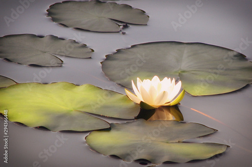 Photo White water Lily flower in the pond