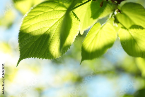 Fototapeta Tree branch with green leaves on sunny day obraz na płótnie