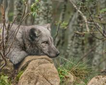 Arctic Fox Resting On Rocks