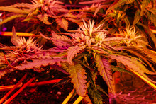 Close Up Cannabis Plant Grows. Pink Purple Lights. Medical Marijuana. Recreational Medicine. Get High Legalization