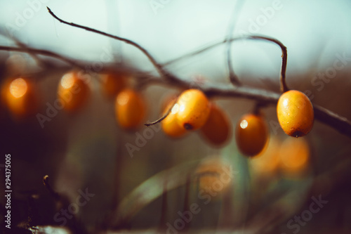 Spoed Fotobehang Tuin A branch of sea-buckthorn. Outdoor photography. Selective focus.