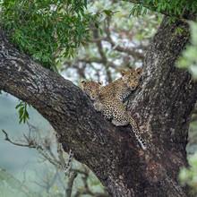 Leopard In Kruger National Par...