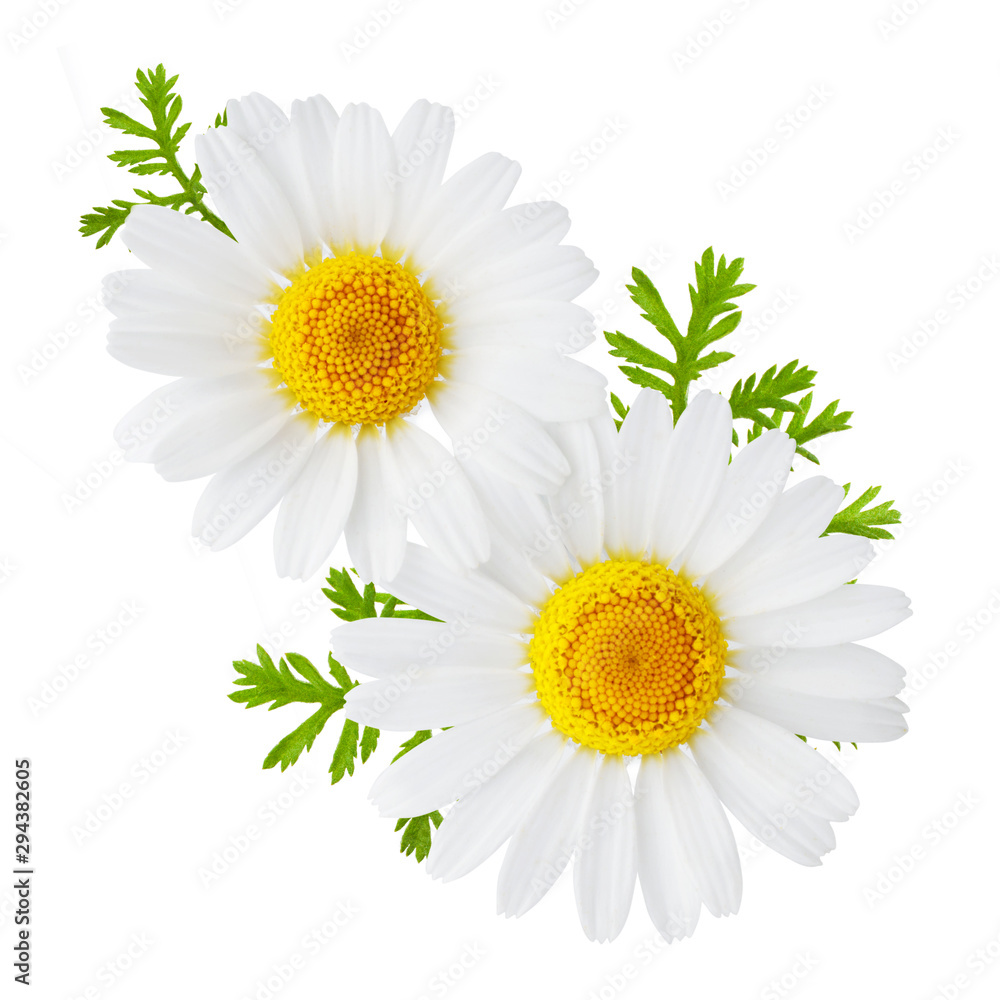 Fototapety, obrazy: Chamomile or camomile flowers isolated on white background