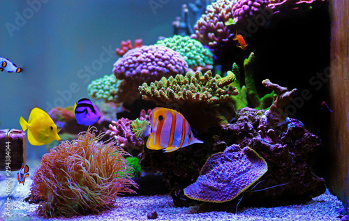 Fotografie, Obraz Beautiful saltwater coral reef aquarium tank