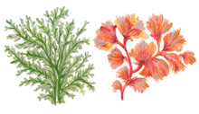 Watercolor Gouache Seaweeds, Coral, Aquarium Plants, Underwater Hand Pianting. Colorful Isolated Set Illustration Of Aquatic Plant, Nature Wildlife For Card Fashion Fabric
