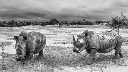 Two Southern white rhinoceros in wide angle view in Hlane royal National park, Swaziland scenery; Specie Ceratotherium simum simum family of Rhinocerotidae