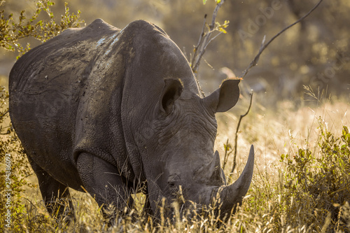 Spoed Fotobehang Neushoorn Southern white rhinoceros in Kruger National park, South Africa