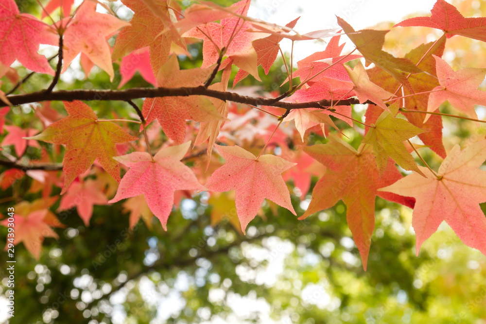 Fototapeta Detail of liquidambar red autumnal foliage