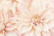 Summer Blossoming Delicate Dahlias, Blooming Flowers Festive Background, Pastel And Soft Bouquet Floral Card, Selective Focus, Toned