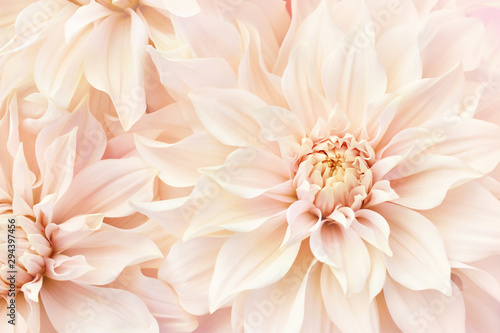 Deurstickers Dahlia Summer blossoming delicate dahlias, blooming flowers festive background, pastel and soft bouquet floral card, selective focus, toned