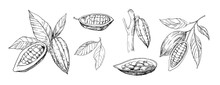 Sketch Of Cocoa Plants. Hand D...