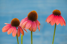 Closeup Of Pink Echinacea On Blue Background In A Public Garden