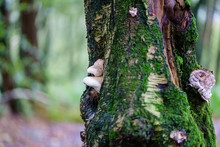 Tree With Wild Mushroom Fungus In Forest