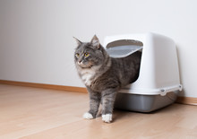Young Blue Tabby Maine Coon Cat Leaving Hooded Gray Cat Litter Box With Flap Entrance Standing On A Wooden Floor In Front Of White Wall With Copy Space Looking Ahead Standing On Front Paws