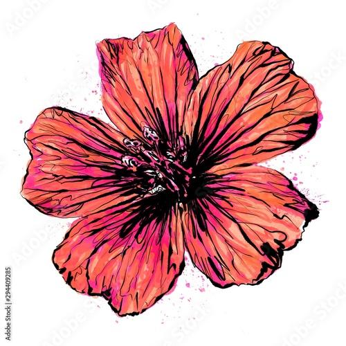 Photo Anthophyta 059b - Hand painted cranesbill geranium flower illustration