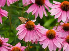 Silver-spotted Skipper Butterfly Pollinating Echinacea Purple Coneflower