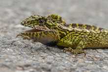 Japalura Variegata Lizard Seen...