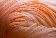 Flamingo-Gefieder (Federkleid)