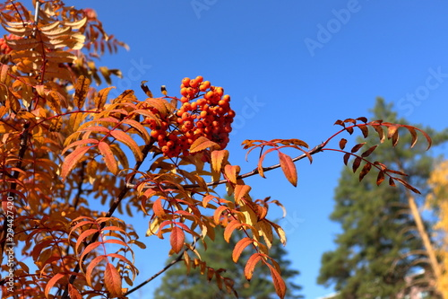 bunches of rowan against a blue sky and treetops Wallpaper Mural