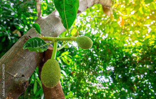 Photo  Jackfruit Tree And Young Jackfruits In Garden