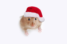 Rat Wearing Santa Hat Stuck In The Hole In White Background