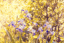 Blossoming Iris Flowers In The...