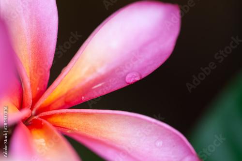 Leinwand Poster pink frangipani flower