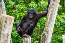 Closeup Of A Bonobo Sitting On...
