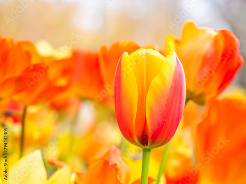 Closeup of vivid or vibrant orange and yellow tulip flower with blurry garden or park background.