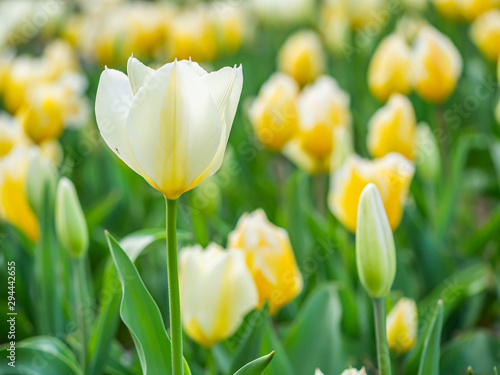Closeup of soft white and yellow tulip flower in the field or meadow at the park or garden.