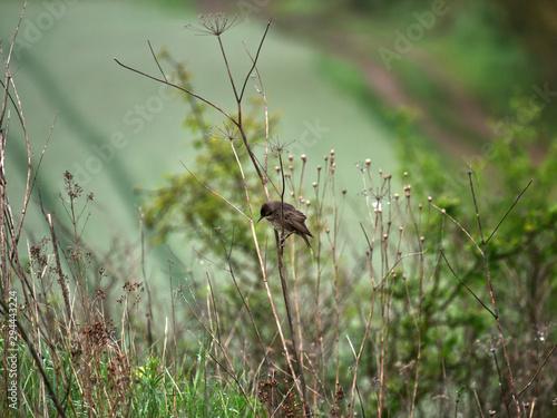 Młode  podloty Szpaka  zwyczajny (Sturnus vulgaris) ukrywają się wśród traw - 294443224